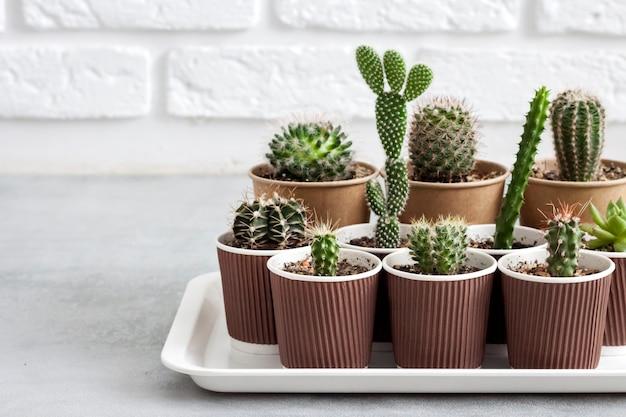 Kolekcja kaktusów i sukulentów w małych papierowych kubeczkach na tacy.