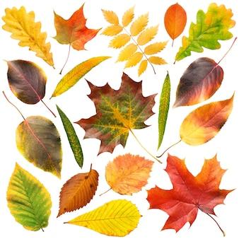 Kolekcja pięknych kolorowych jesiennych liści na białym tle