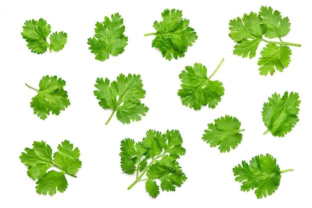 Kolekcja płaskich świeckich świeżych liści kolendry na białym tle.