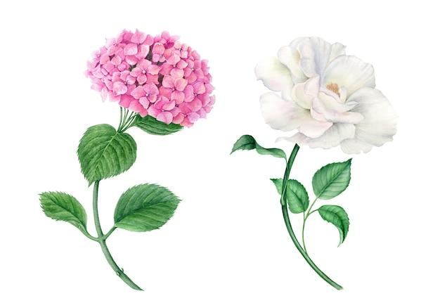 Kolekcja vintage wateroclor różowej hortensji i białej róży realistycznej ilustracji botanicznej