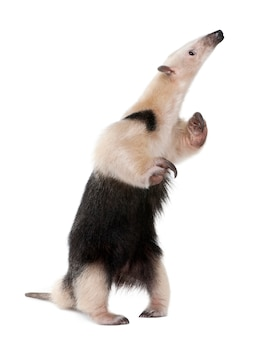 Kołnierzasty anteater stoi na tylnych nogach, tamandua tetradactyla na bielu odizolowywającym