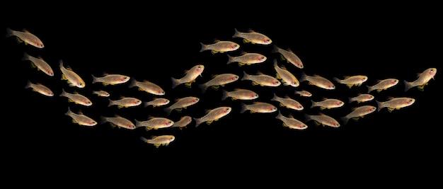 Kolonia danio margaritatusrasbora galaxy tropikalna ryba w akwarium ciemnym tle