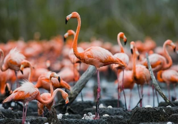 Kolonia flamingów karaibskich