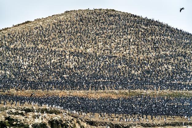 Kolonia kormoranów guanay na wyspach ballestas w pobliżu paracas w peru