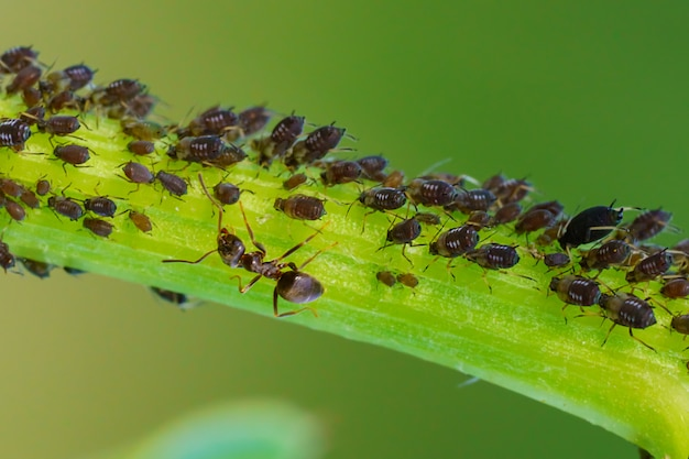 Kolonia mszyc i mrówek na roślinach ogrodowych