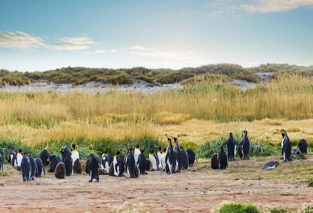 Kolonia pingwinów królewskich (aptenodytes patagonicus) na zachodnim wybrzeżu ziemi ognistej w chile, ameryka południowa