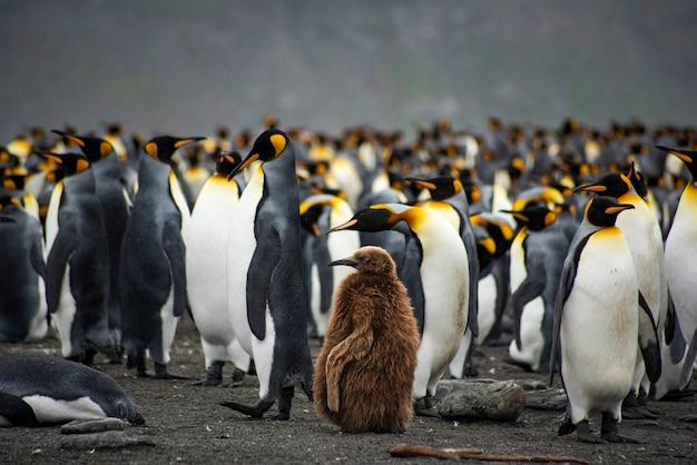 Kolonia pingwinów królewskich w georgii południowej