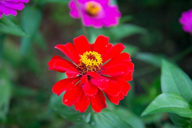 Kolor czerwony kwiat na niewyraźnym zielonym naturalnym tle