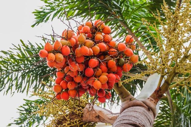 Kolor czerwony wosk uszczelniający palmowy owoce
