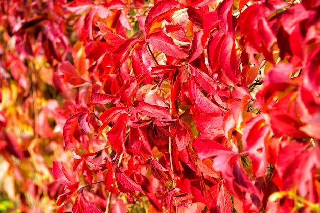 Kolor jesieni. liście stają się czerwone. jesienią liście ubarwione na czerwono. roślina z czerwonymi liśćmi na naturalnym tle. jasnoczerwony pigment. jesienna natura jest najlepszym artystą.