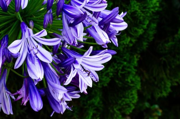 Kolor niebieski i fioletowy lily afrykańskie (cape blue lily) kwitnące w ogrodzie