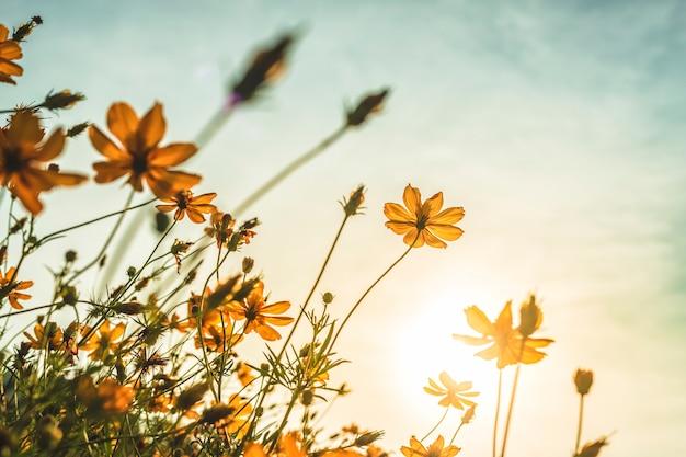 Kolor żółty kwitnie w ogródzie natura z niebieskim niebem