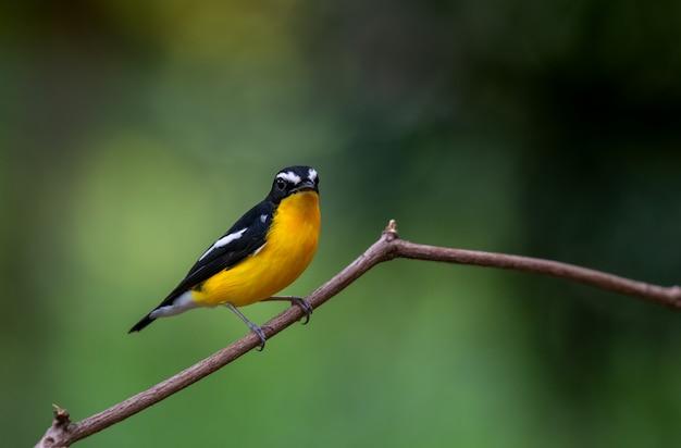 Kolor żółty rumped flycatcher, piękny ptak w tajlandia (ficedula zanthopygia)