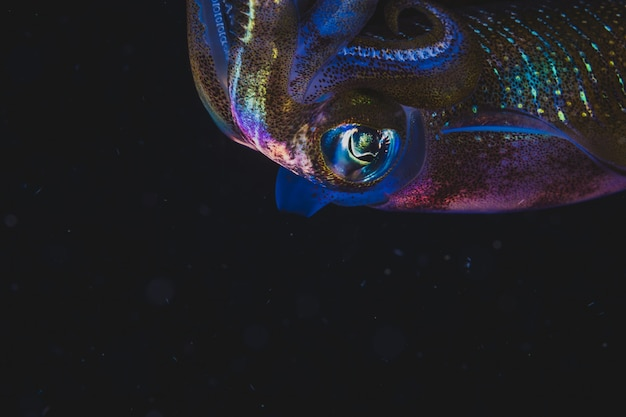 Kolorowa kałamarnica pływanie w ciemności