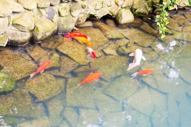 Kolorowa koi ryba pływa pod wodą przeciw kamiennemu dnu w jeziorze.