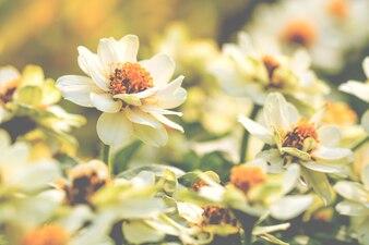 Kolorowa kwiat chryzantema robić z gradientem dla tła