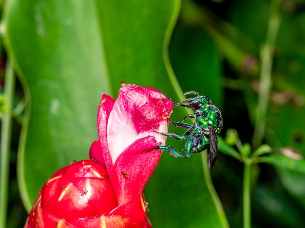 Kolorowa orchidea pszczoła lub exaerete na czerwonym tropikalnym kwiacie. niesamowita fauna brazylii. rodzina euglossini...