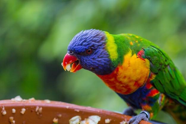 Kolorowa papuga portret lori profil papugi głowa papugi zbliżenie papugi papuga w zoo
