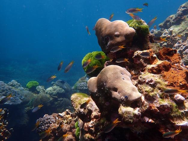 Kolorowa rafa koralowa z rybami na wyspie lipe, morze andamańskie, ocean indyjski, tajlandia, fotografia przyrodnicza