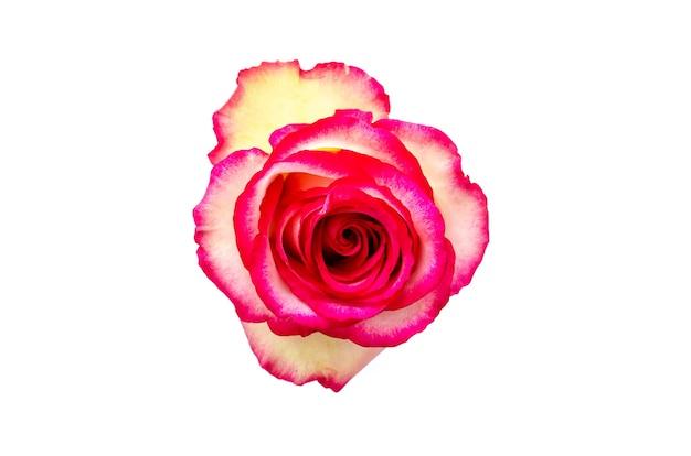 Kolorowa róża na białym tle