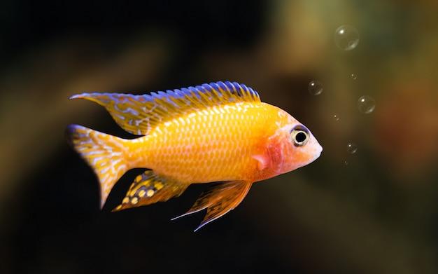 Kolorowa ryba na podwodnym tle z bąblami. koncepcja wolności.