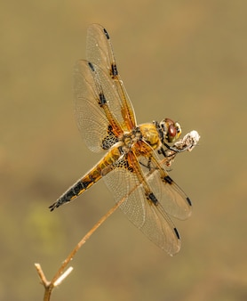 Kolorowa ważka ze spiczastymi skrzydłami siedząca na suchej roślinności