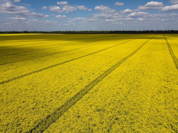Kolorowa żółta wiosenna uprawa rzepaku, rzepaku lub rzepaku widziana z góry, pokazująca równoległe tory prowadzące przez pole. zdjęcia lotnicze