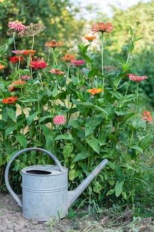 Kolorowe cynie, piękny bezpretensjonalny letni kwiatek w ogrodzie i żelazna konewka ogrodowa