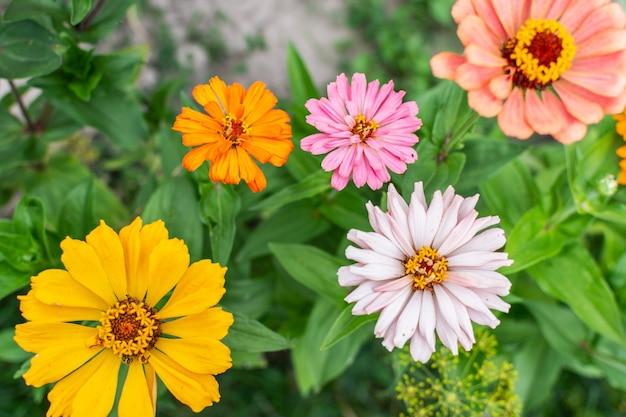 Kolorowe cynie zbliżenie, piękne bezpretensjonalne letnie kwiaty w ogrodzie
