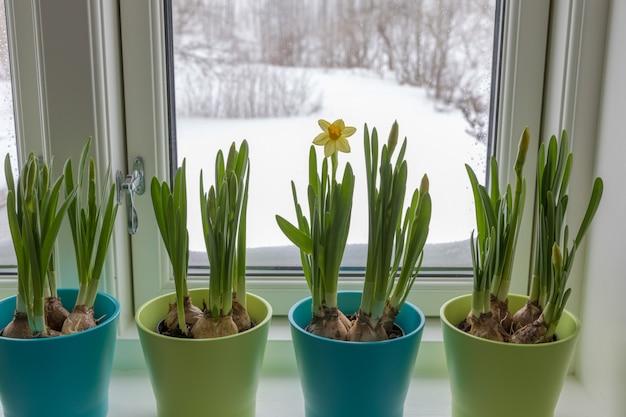 Kolorowe doniczki karłowatych żonkili, narcyz, w słupku okna ze śniegiem na zewnątrz. wiosna.