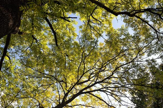 Kolorowe drzewa liściaste jesienią w lesie, liście drzew zmieniają kolor podczas opadania liści