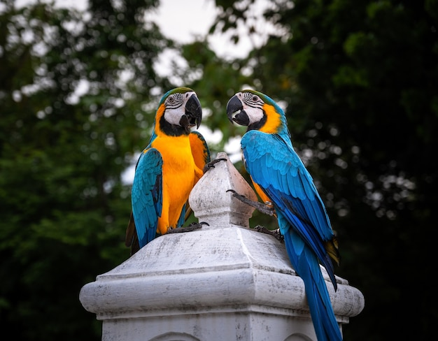 Kolorowe dwie papugi ara niebieski i złoty stojący na okoń kolumny.