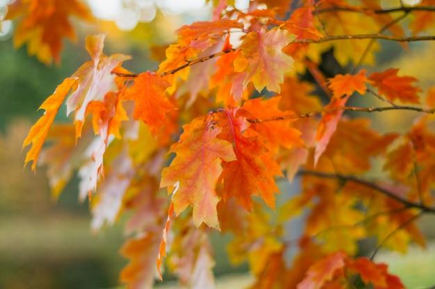 Kolorowe gałęzie dębu mistrza