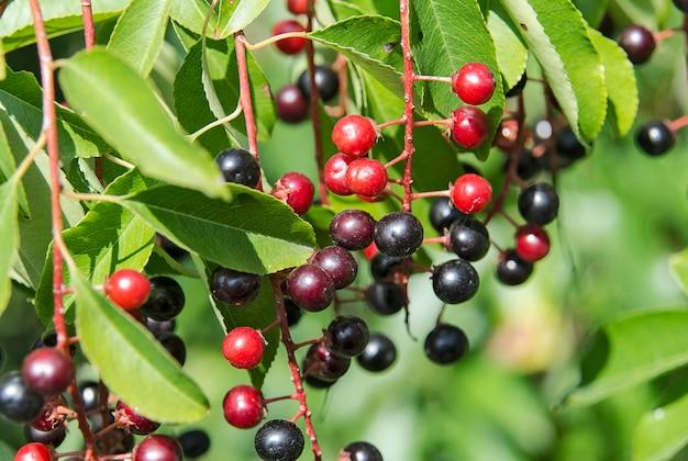 Kolorowe jagody czeremchy na gałęzi