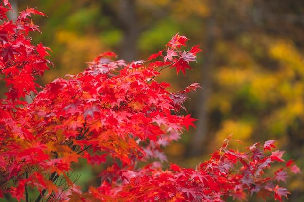 Kolorowe jesienne liście zmieniają kolor na czerwony w japonii.