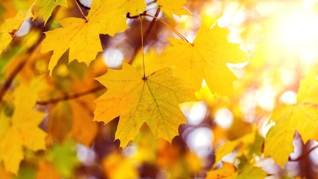 Kolorowe jesienne tło z żółtymi liśćmi klonu w jasnym świetle słonecznym