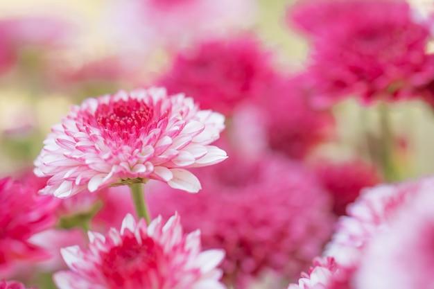 Kolorowe kwiaty chryzantemy