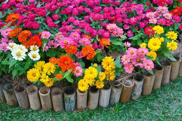 Kolorowe kwiaty cynia w ogrodzie. piękne kwiatowe tło