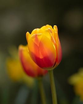 Kolorowe kwiaty tulipanów w polu