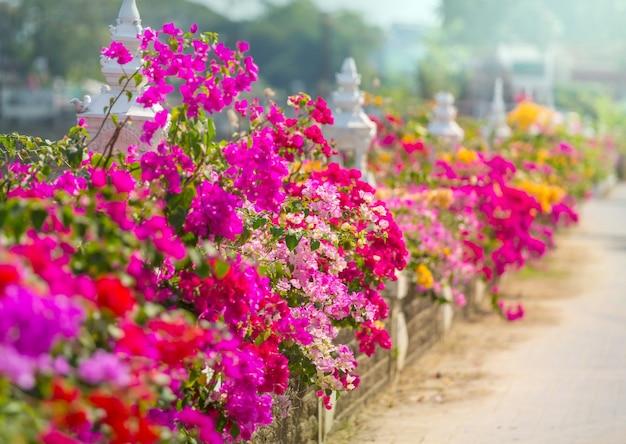 Kolorowe kwiaty w bugenwilli na ulicy