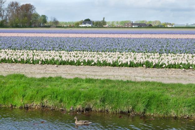 Kolorowe kwitnące pola kwiatowe białych, niebieskich i różowych hiacyntów w pobliżu kanału na holenderskiej wsi.