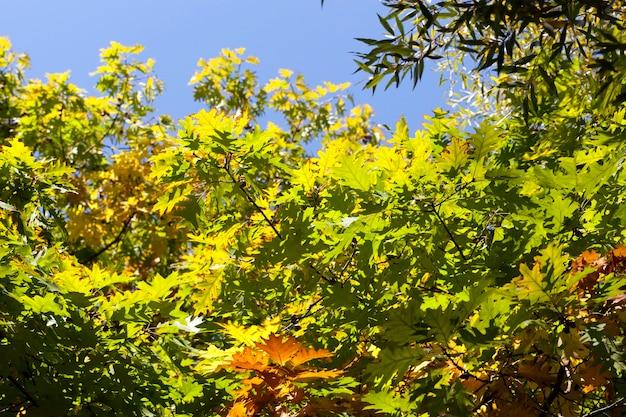 Kolorowe liście dębu w słońcu w sezonie jesiennym, błękitne niebo w tle