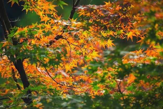 Kolorowe liście klonu japońskiego (acer palmatum) w sezonie momiji