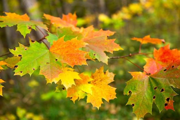 Kolorowe liście klonu na drzewie jesienią - z czerwonymi, żółtymi i zielonymi plamkami. jesienny nastrój, naturalne tło. czarny grzyb, porażone liście z płytką nazębną, szkodniki i pasożyty