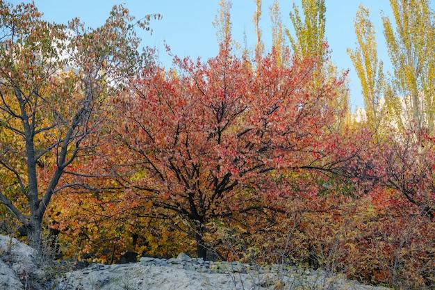 Kolorowe liście organicznego sadu jesienią. dolina hunza, gilgit baltistan, pakistan.