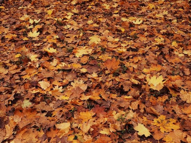 Kolorowe liście z nieostre parku w tle o zachodzie słońca.
