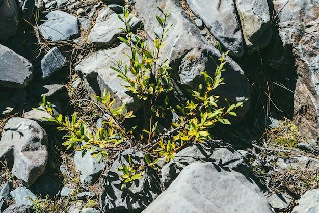 Kolorowe nasłonecznione zielone tło natura z małym drzewem wierzby wśród kamieni w jasnym słońcu. młoda wierzba wśród głazów w słońcu. żywe zielone małe drzewko na ziemi wśród skał w słońcu.