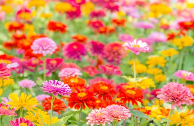 Kolorowe niewyraźne tło kwiat cynia, w jasnym świetle słonecznym