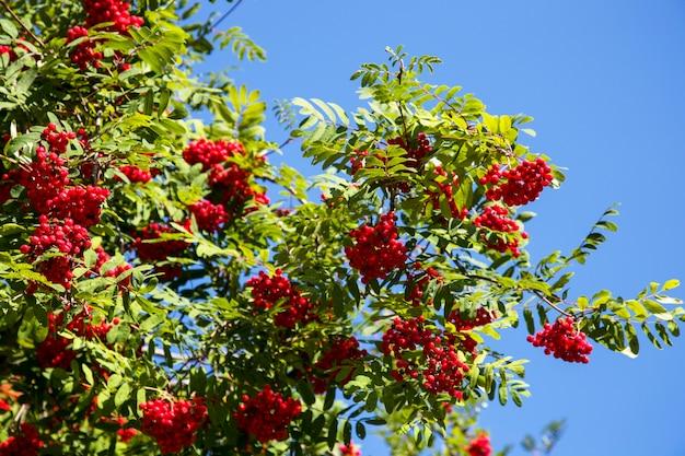 Kolorowe owoce jarzębiny na drzewie jarzębiny. błękitne niebo w tle. dojrzałe jagody