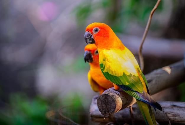 Kolorowe pary lovebirds papugi na gałęzi.